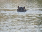 Chased by a hippo in Botswana