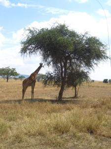 Giraffe in the Crater