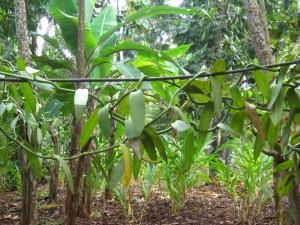 Growing vanilla bean on the Spice Plantation