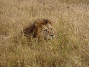 On the prowl in the Serengeti
