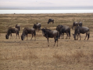 Wildebeasts in Ngorongoro Crater