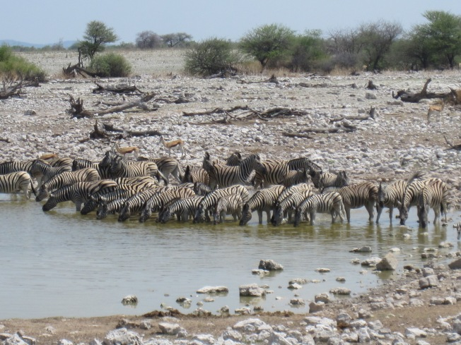 Zebras having a drink