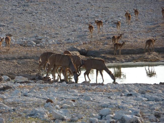 Springbok arrive