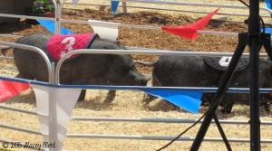 Swine Racing